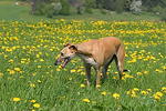 Galgo Español dog in flowers