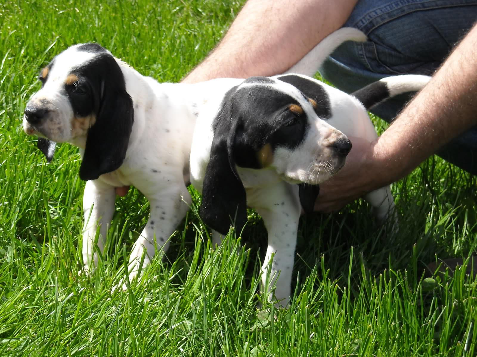 gascon saintongeois puppies photo and wallpaper beautiful