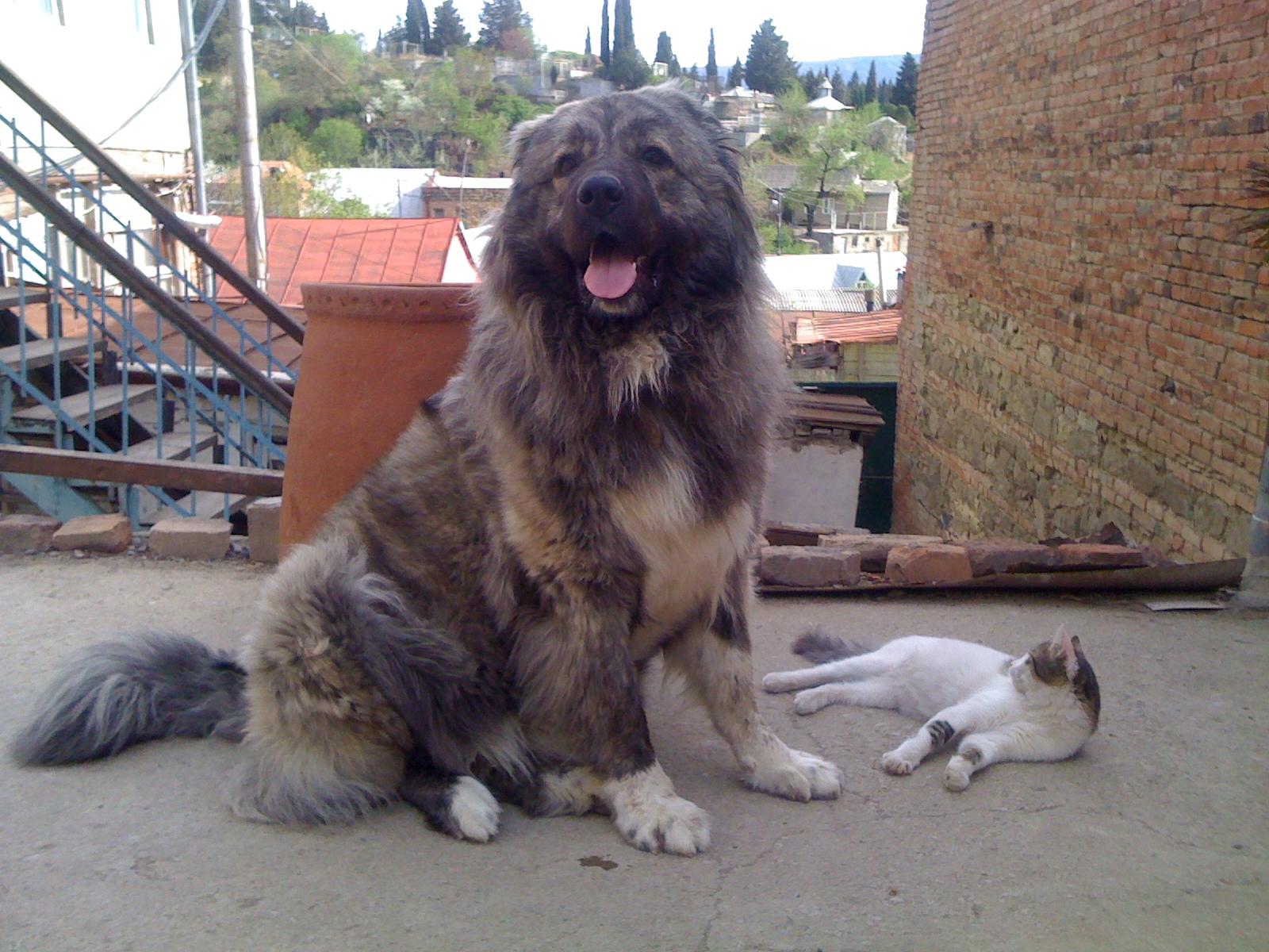 Грузинская горная собака и кот фото