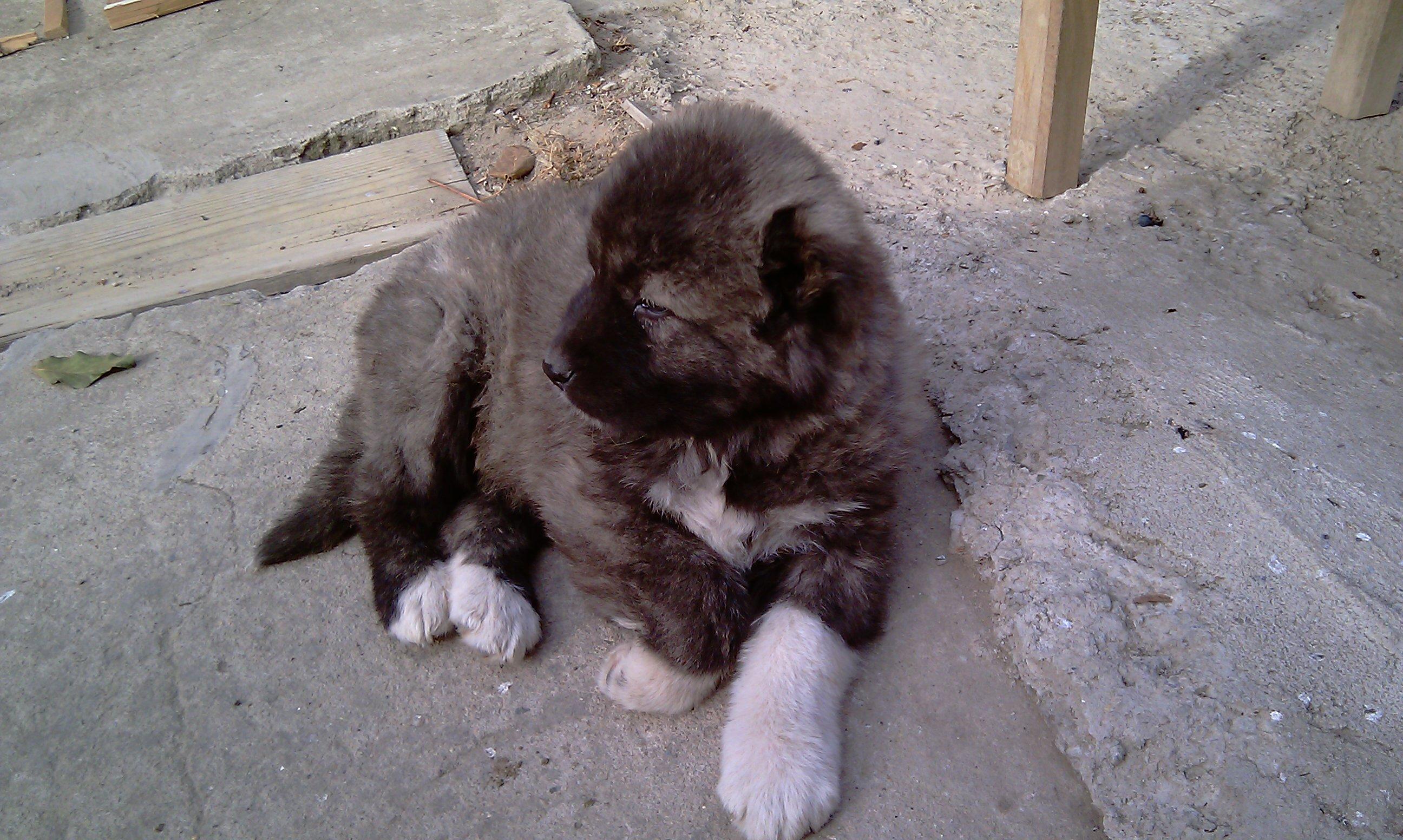 Щенок грузинской горной собаки фото