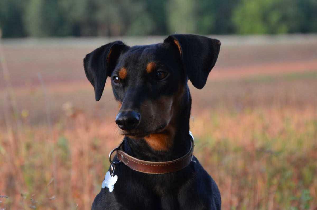 German Pinscher dog in the field wallpaper