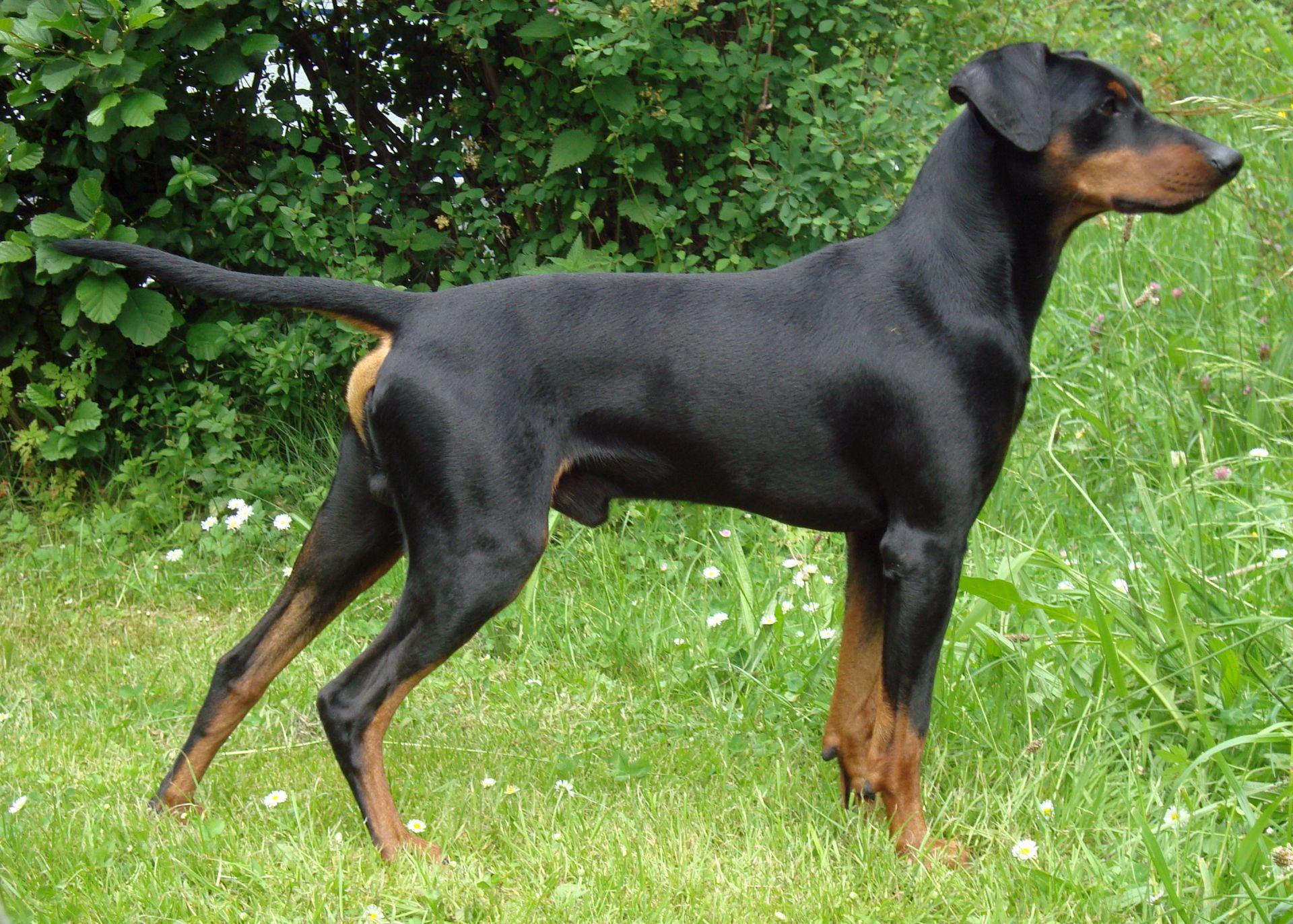 German Pinscher dog on the grass wallpaper