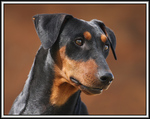 German Pinscher dog portrait