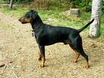 German Pinscher dog side view