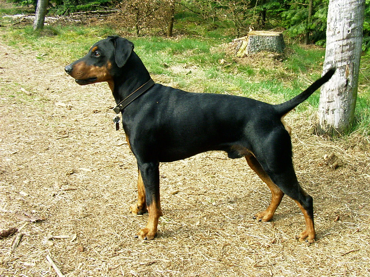 German Pinscher dog side view wallpaper