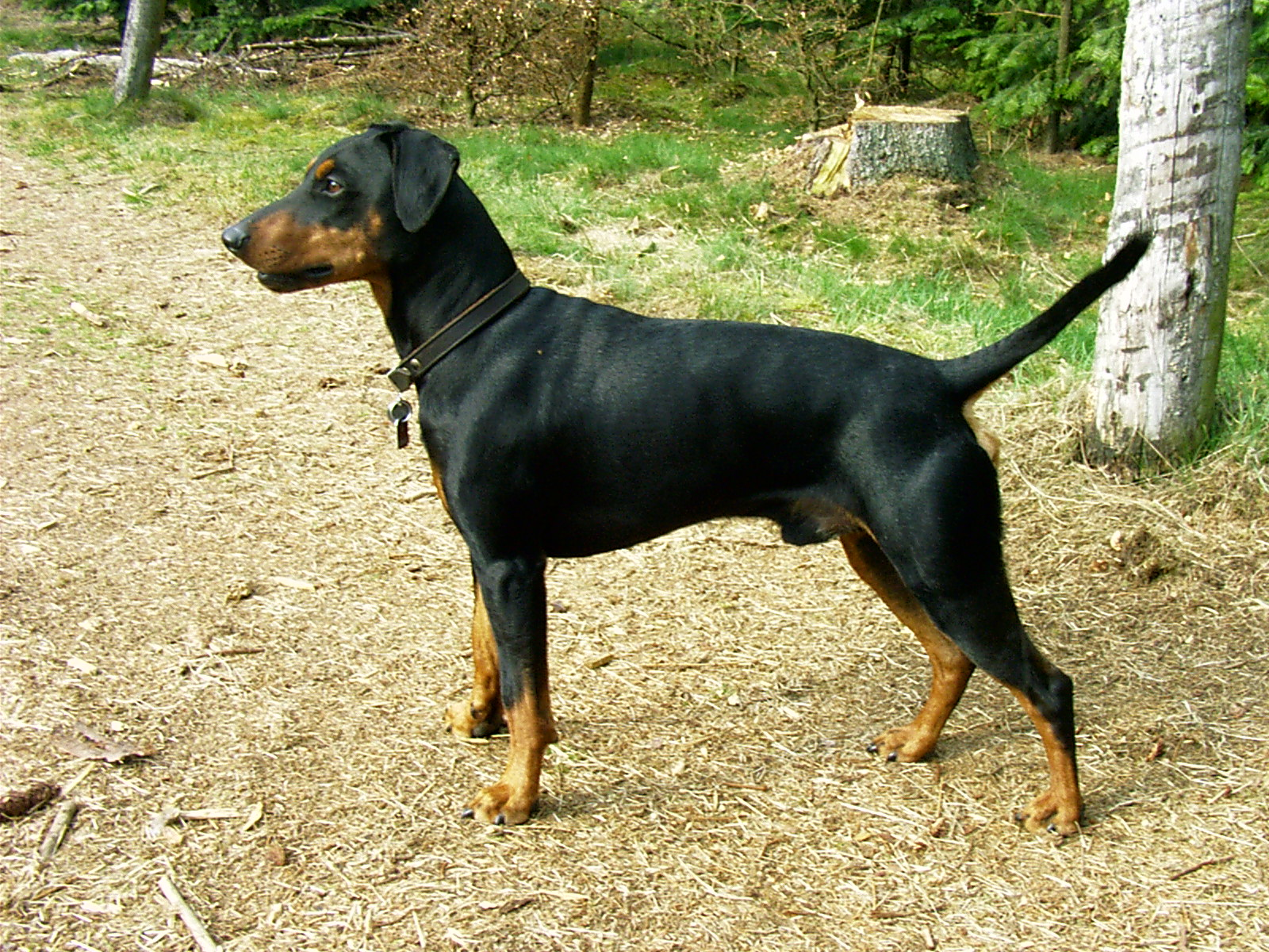 German Pinscher wallpaper