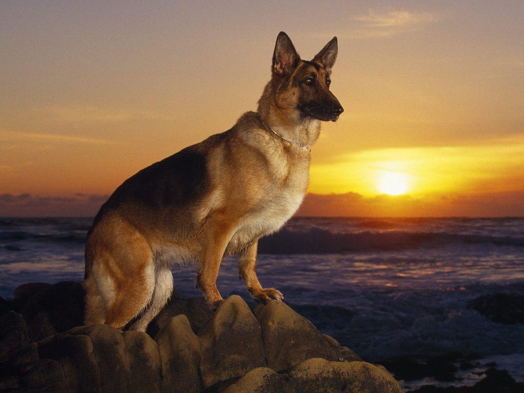 German Shepherd dog at sunset wallpaper