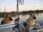 German Shepherd dogs in the pleasure boat