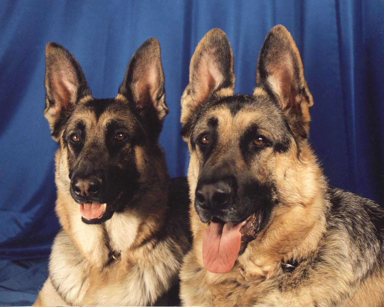 German Shepherd dogs wallpaper
