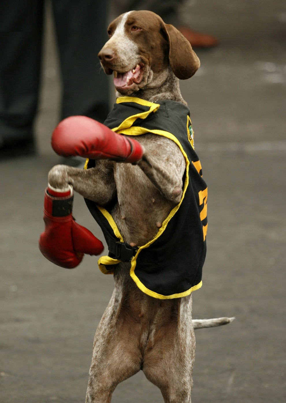German Shorthaired Pointer Boxing Day фото