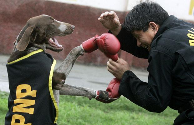 German Shorthaired Pointer boxing фото