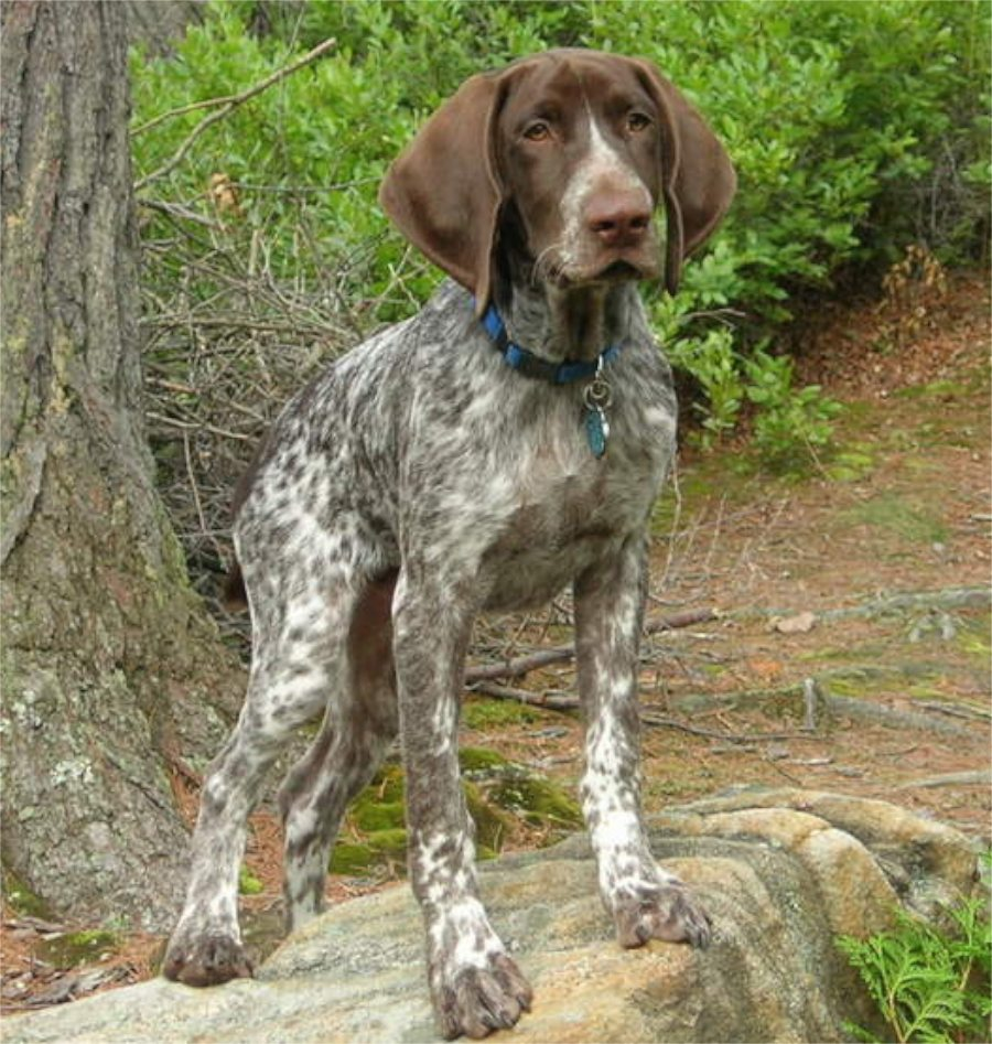 German Shorthaired Pointer dog near a tree wallpaper