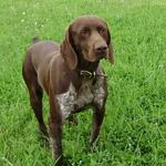 German Shorthaired Pointer dog on the grass