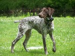 German Shorthaired Pointer dog on the lawn
