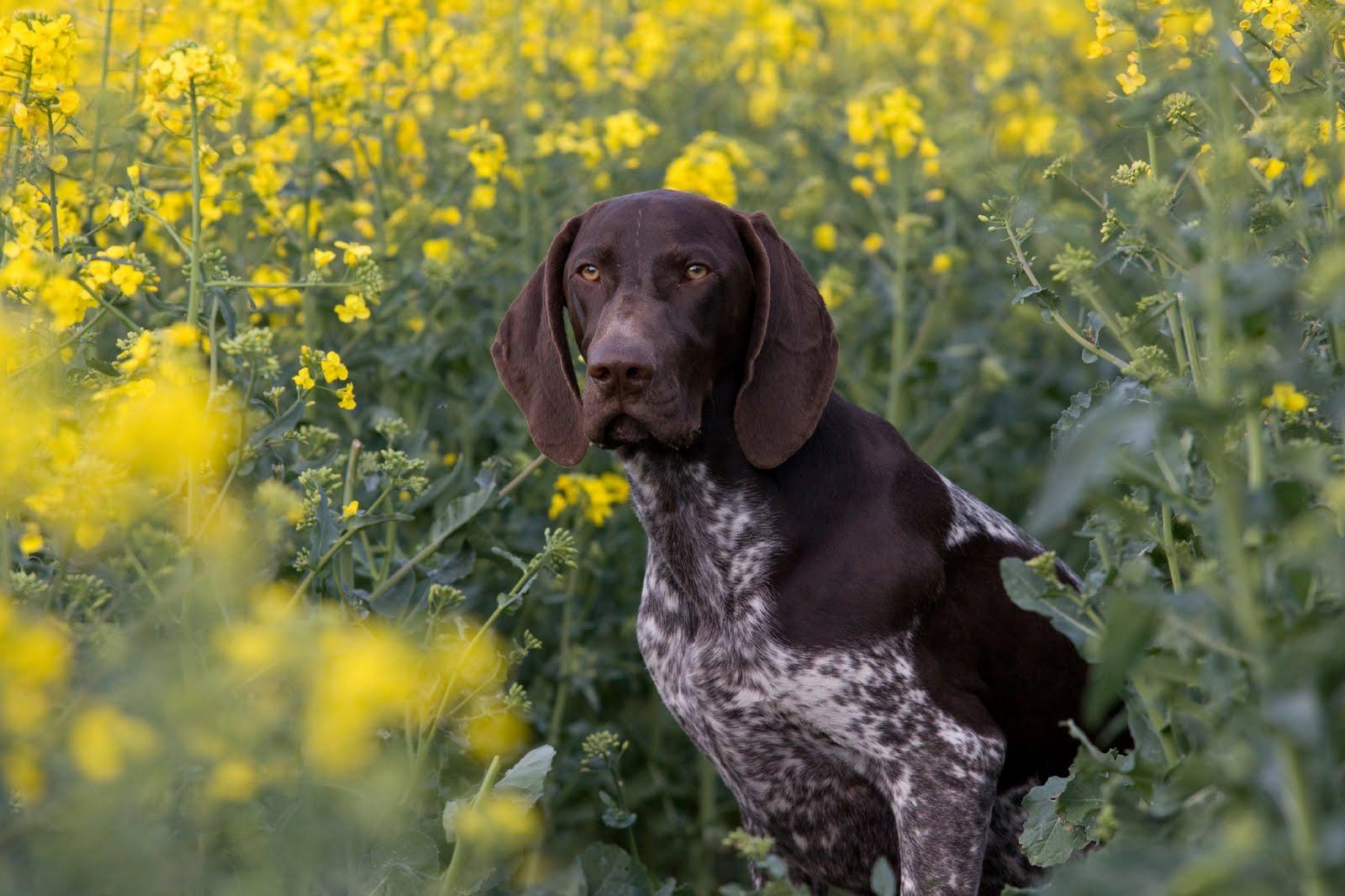 Собака курцхаар в цветах фото