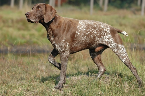 German Shorthaired Pointer wallpaper