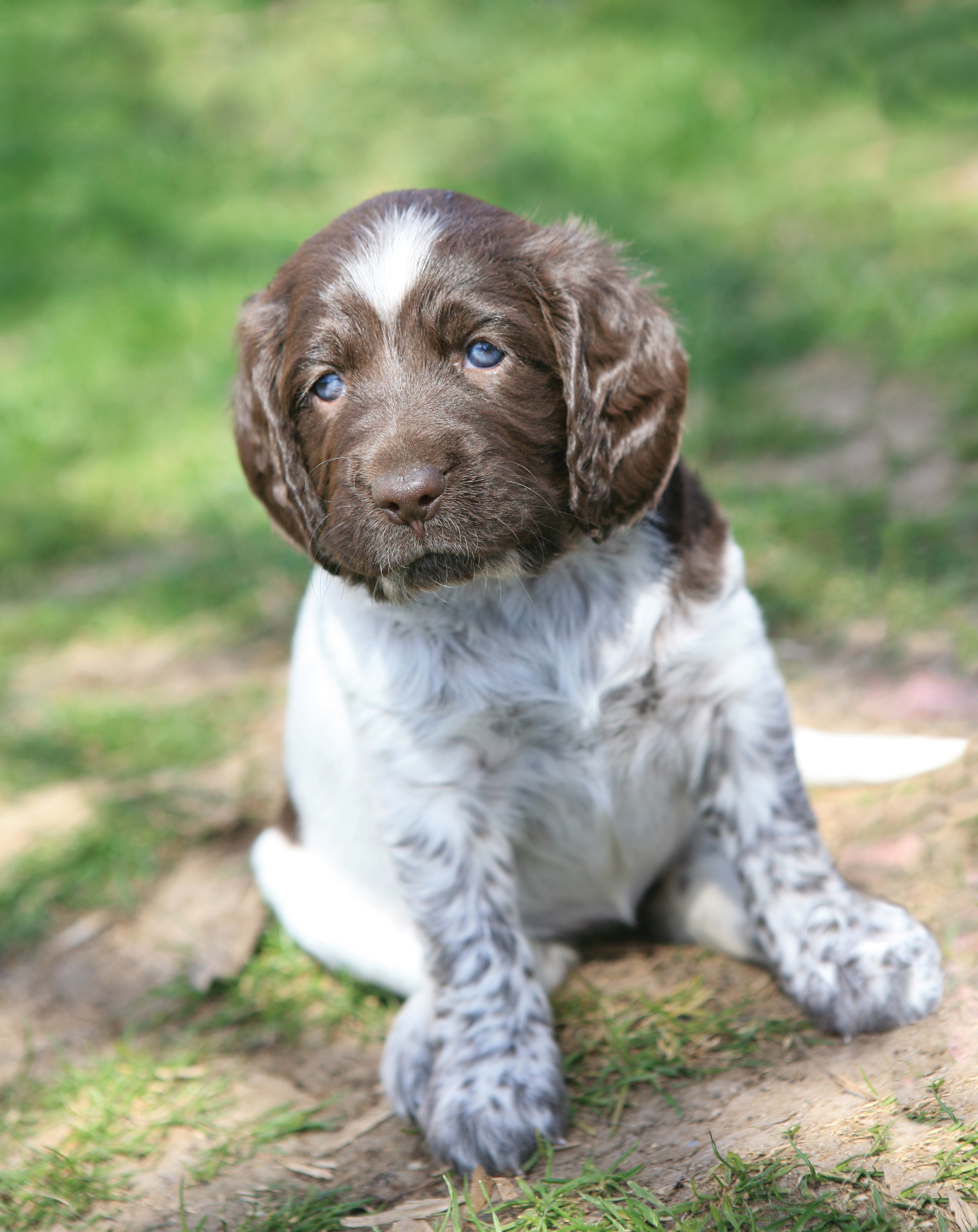 German Shorthaired Pointer puppy wallpaper