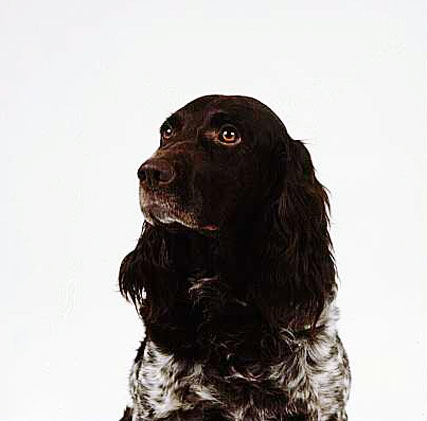 German Spaniel dog portrait wallpaper