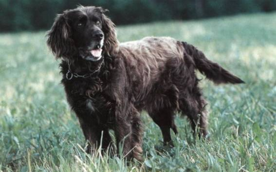 German Spaniel on the grass wallpaper
