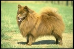 German Spitz dog side view
