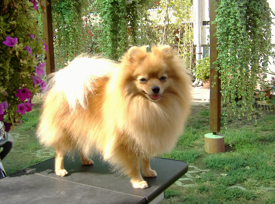German Spitz in the forest wallpaper