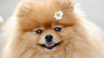 German Spitz with flower