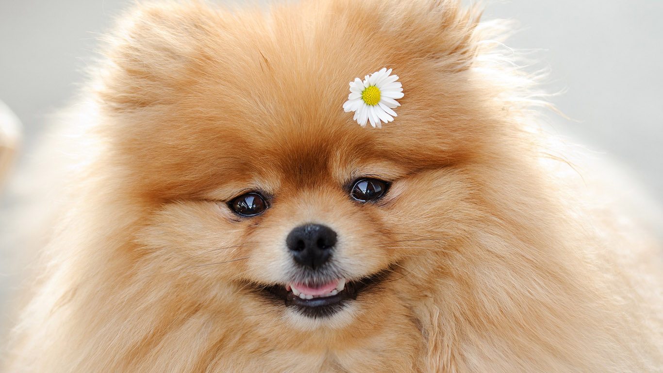 German Spitz with flower wallpaper