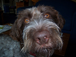 German Wirehaired Pointer dog face