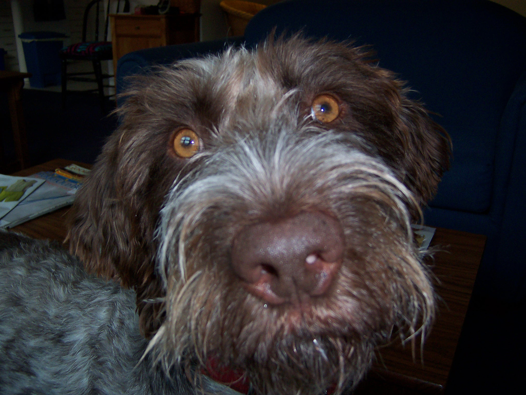 German Wirehaired Pointer dog face photo and wallpaper ...