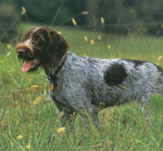 German Wirehaired Pointer dog in the field