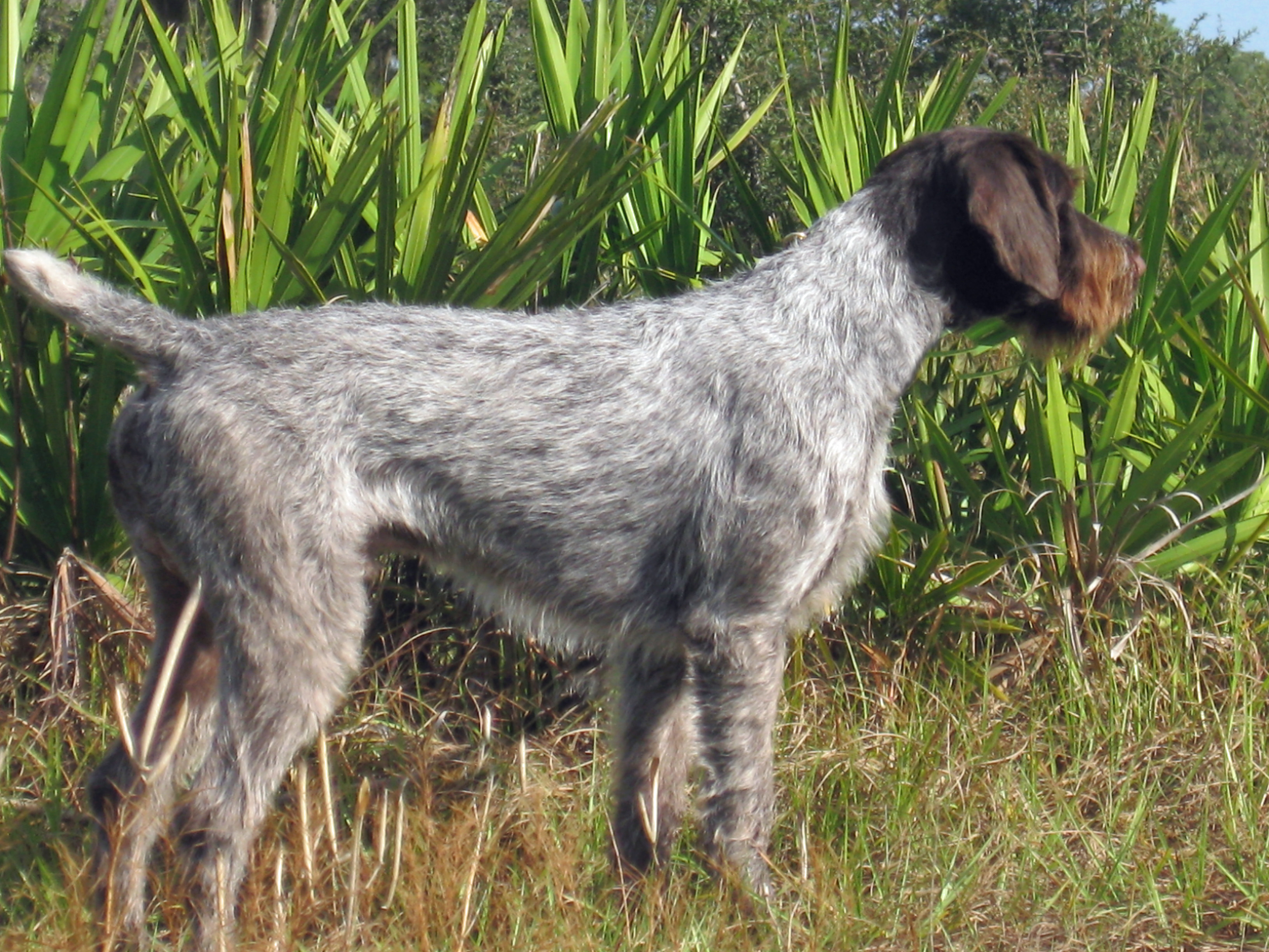 German Wirehaired Pointer dog side view photo and ...