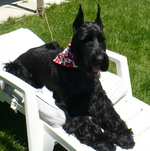 Giant Schnauzer dog on a chaise-longue