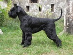 Giant Schnauzer dog side view
