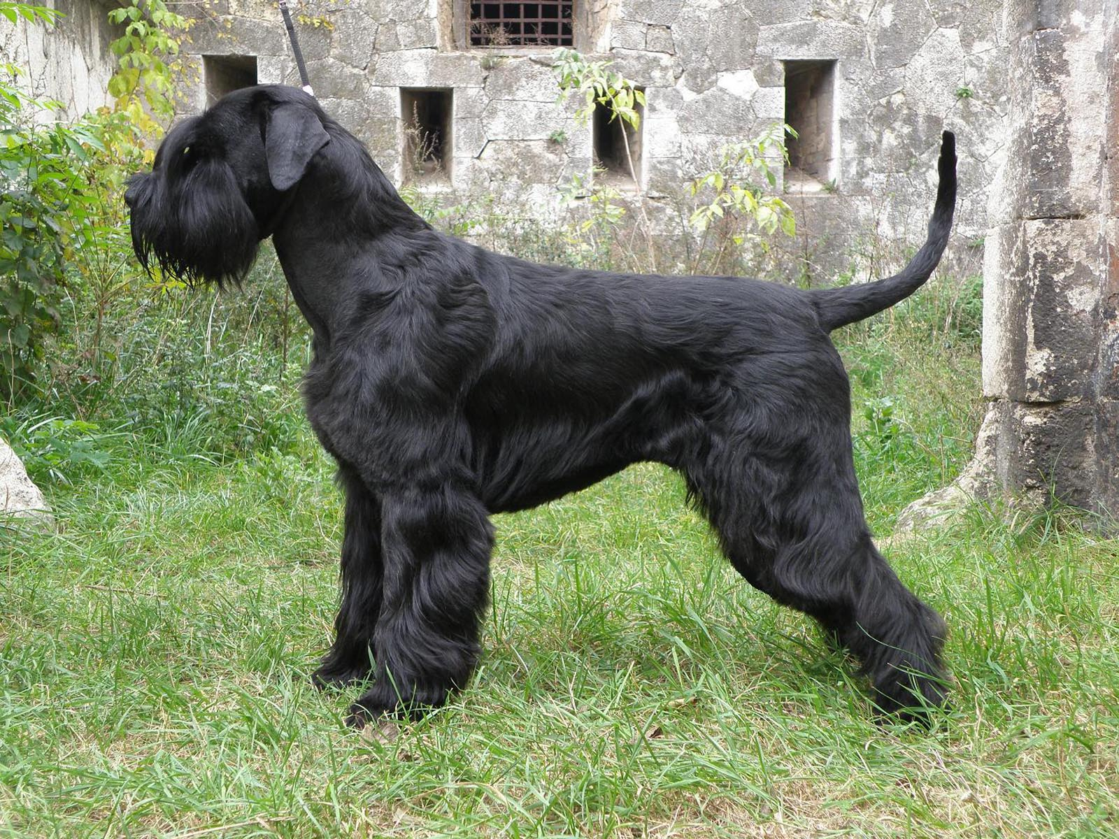 Giant Schnauzer dog side view wallpaper