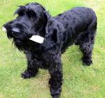 Giant Schnauzer dog with a stick