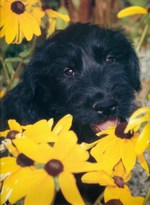 Giant Schnauzer in flowers