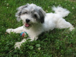 Glad Havanese dog