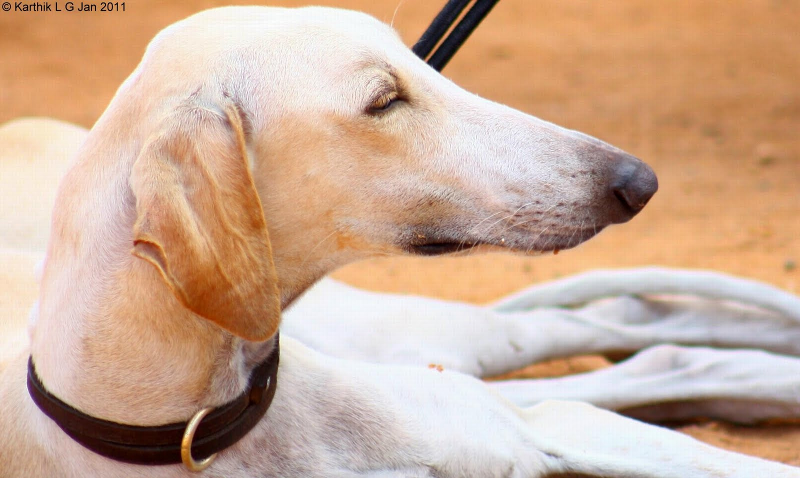 Glad Mudhol Hound dog wallpaper