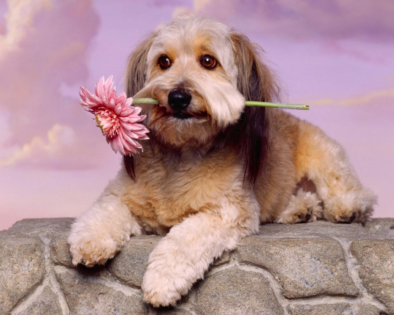 Glen of Imaal Terrier dog with flower wallpaper
