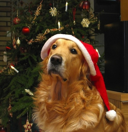 Golden Retriever at the Christmas tree фото