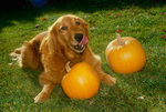 Golden Retriever dog and pumpkins