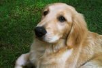 Golden Retriever dog face