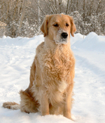 Golden Retriever dog in the snow