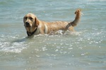 Golden Retriever dog in water
