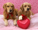 Golden Retriever dogs and heart