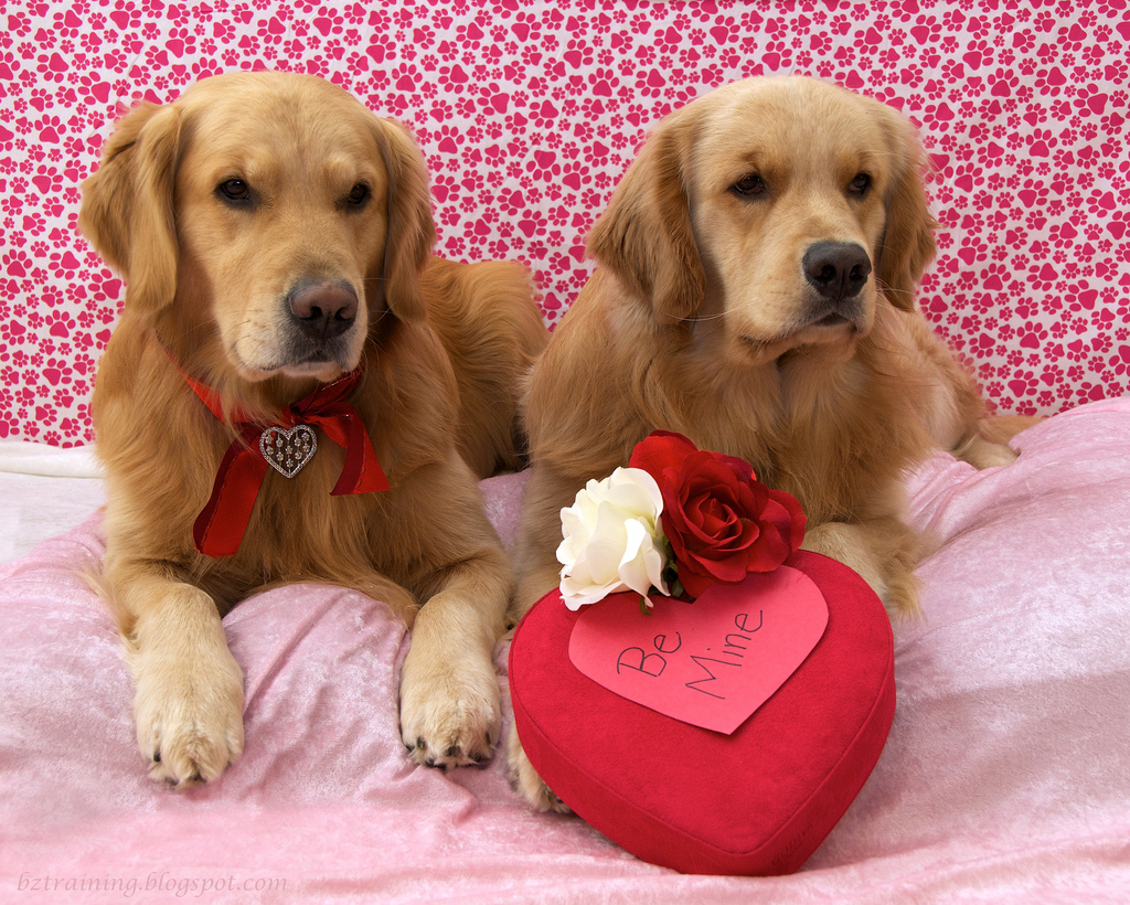Golden Retriever dogs and heart фото
