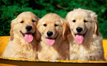 Golden Retriever puppies in the basket