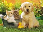 Golden Retriever puppy and kittens