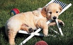 Golden Retriever puppy in chaise-longue