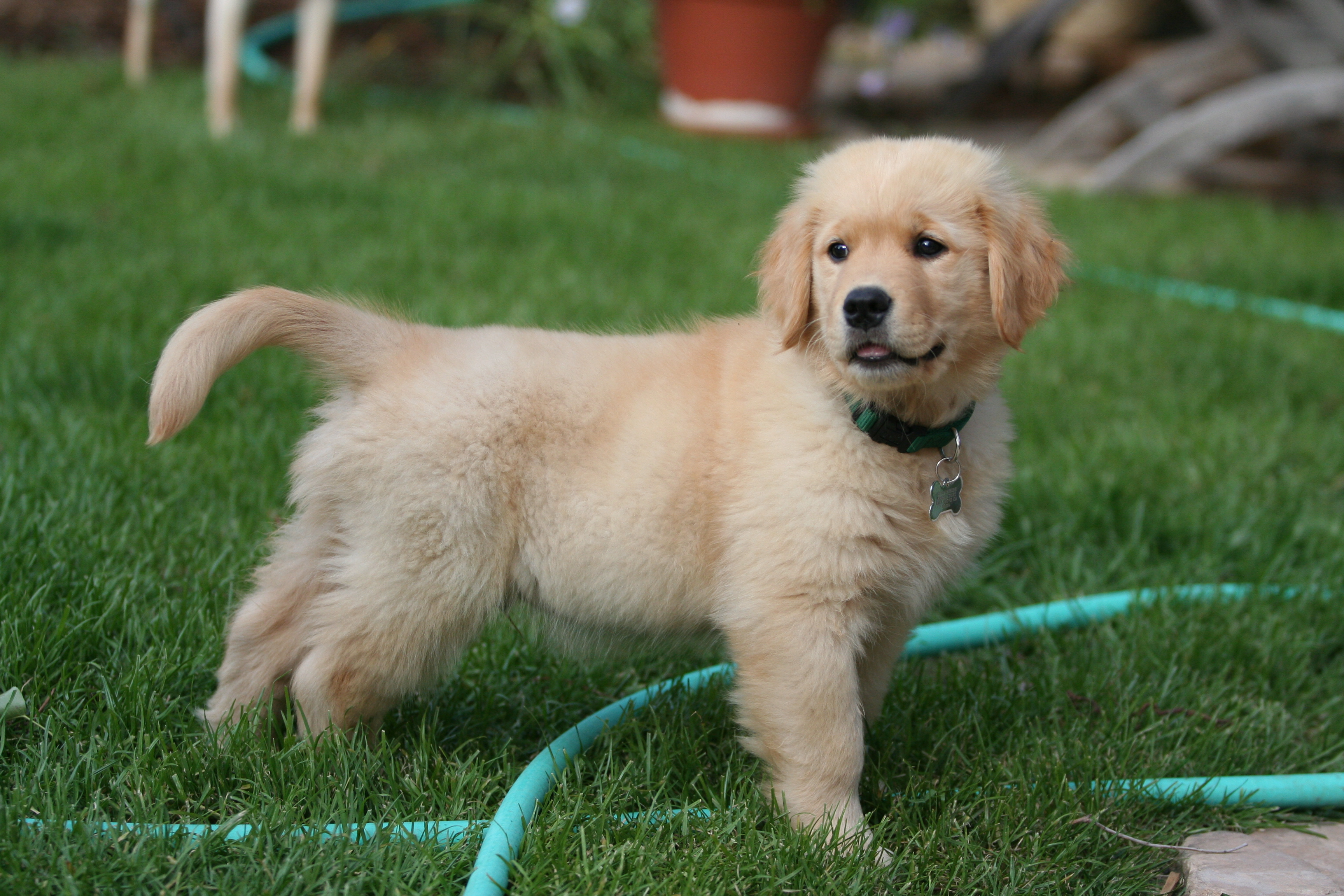 Golden Retriever puppy on the grass wallpaper